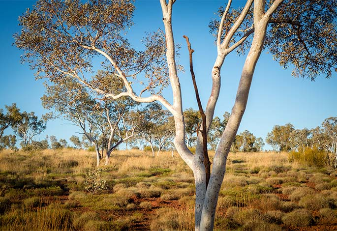 Snappy Gum Consulting Eucalypt Tree